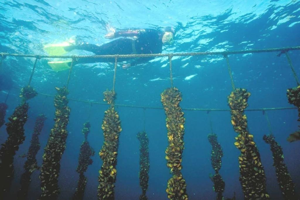 mussel-longlines-cawthron-1024x683.jpg